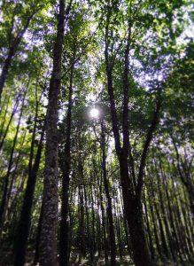 forest mundus volubilis