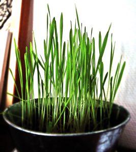luca wheat mundus volubilis